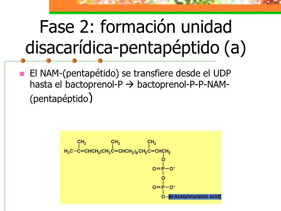 Fase 2: formación unidad disacarídica-pentapéptido (b) El NAM-(pentapétido) se transfiere desde el UDP hasta el bactoprenol-P bactoprenol-P- P-NAM-(pentapéptido) Ahora se transfiere la NAG desde el UDP para unirse por transglucosidación con el NAM.