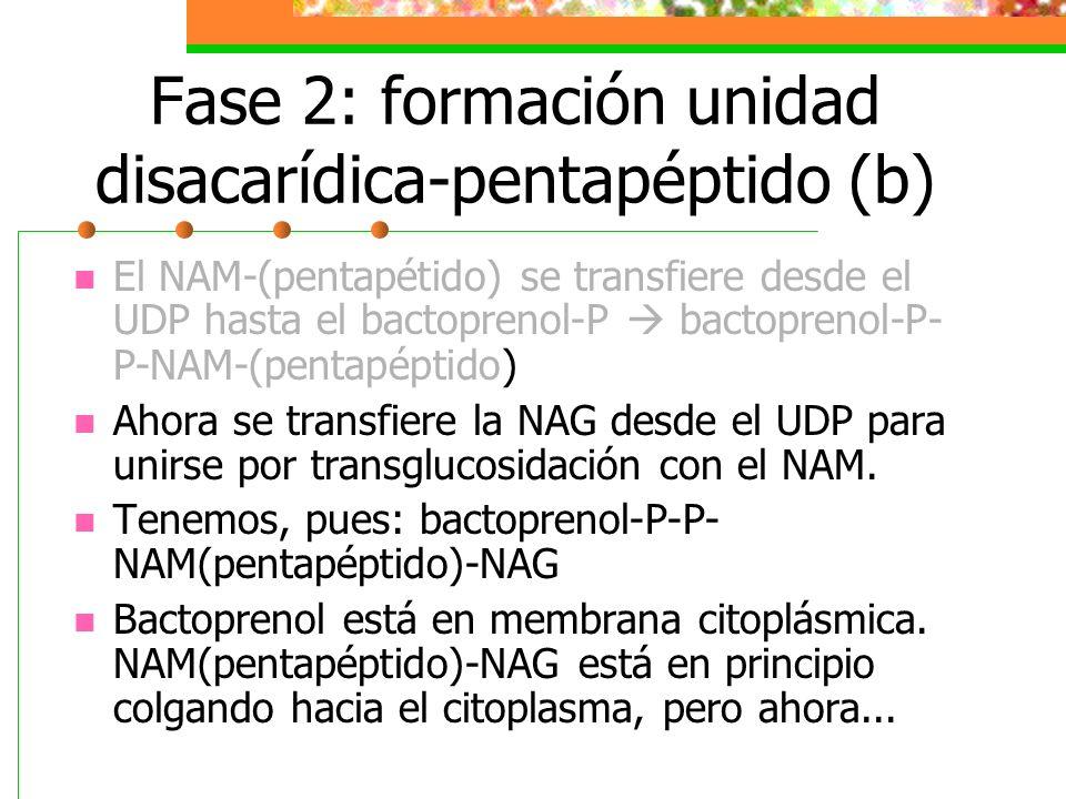 Fase 2: formación unidad disacarídica-pentapéptido (b) El NAM-(pentapétido) se transfiere desde el UDP hasta el bactoprenol-P bactoprenol-P- P-NAM-(pe