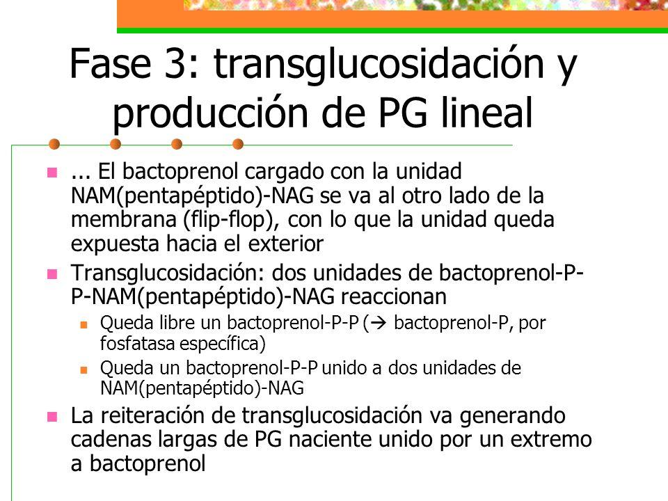 Fase 3: transglucosidación y producción de PG lineal... El bactoprenol cargado con la unidad NAM(pentapéptido)-NAG se va al otro lado de la membrana (