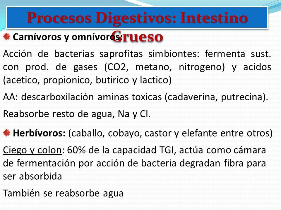 Procesos Digestivos: Intestino Grueso Carnívoros y omnívoros: Acción de bacterias saprofitas simbiontes: fermenta sust. con prod. de gases (CO2, metan