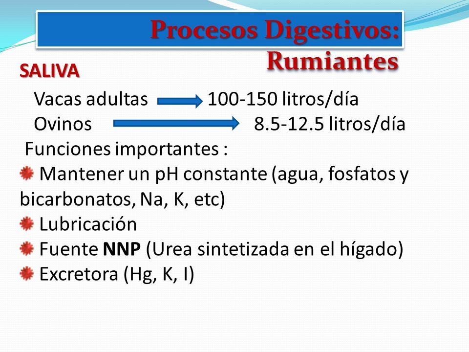 SALIVA Vacas adultas 100-150 litros/día Ovinos 8.5-12.5 litros/día Funciones importantes : Mantener un pH constante (agua, fosfatos y bicarbonatos, Na