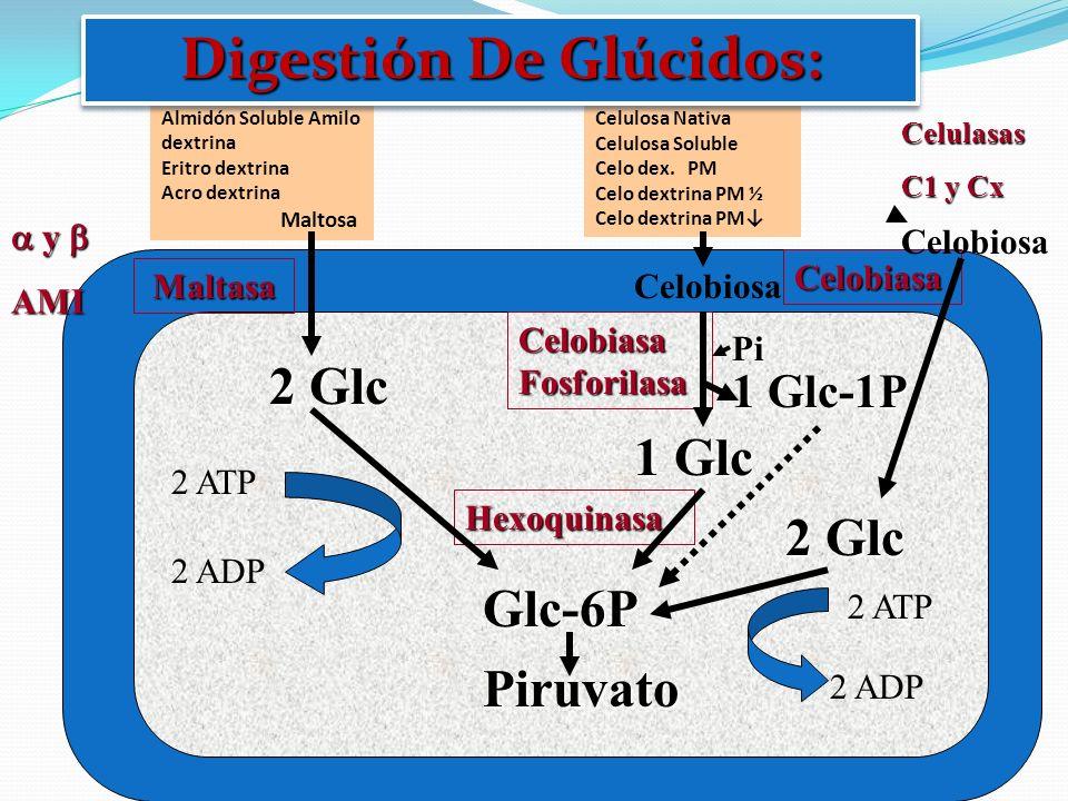 y y AMI Almidón Nativo Almidón Soluble Amilo dextrina Eritro dextrina Acro dextrina Maltosa Maltasa 2 Glc Glc-6P Hexoquinasa 2 ATP 2 ADP Celobiasa Cel