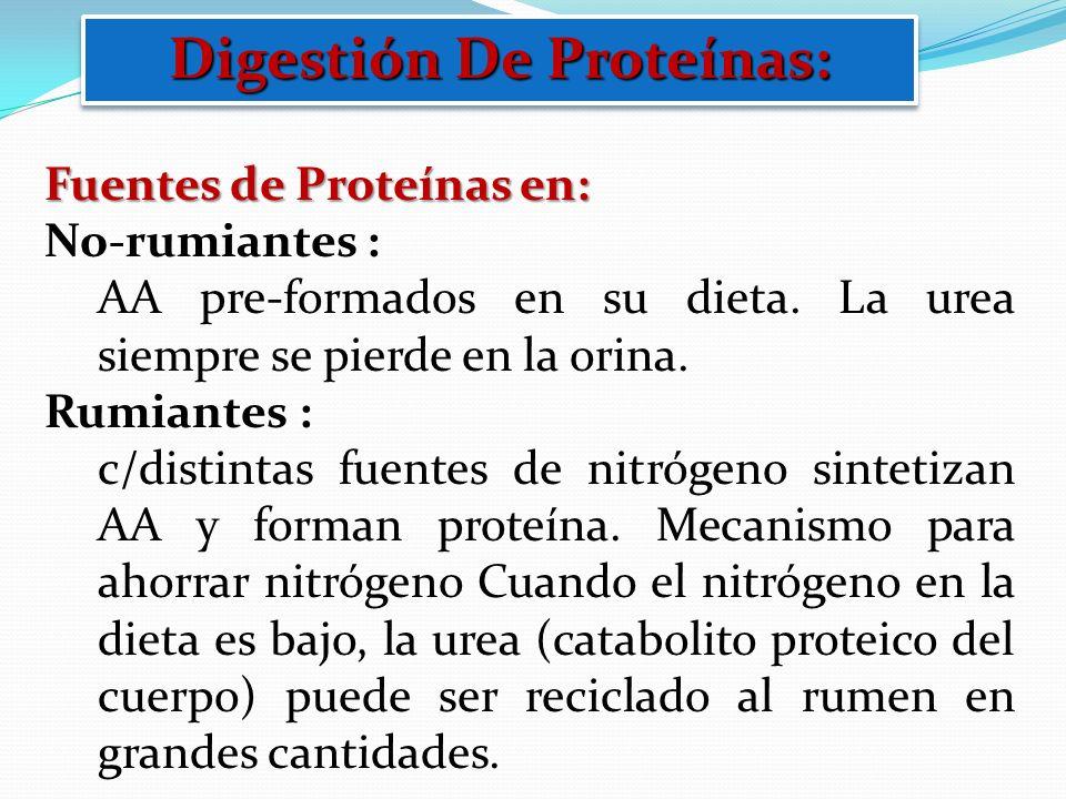 Digestión De Proteínas: Fuentes de Proteínas en: No-rumiantes : AA pre-formados en su dieta. La urea siempre se pierde en la orina. Rumiantes : c/dist