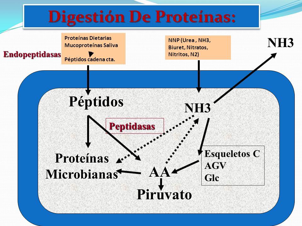 Endopeptidasas Proteínas Dietarias Mucoproteínas Saliva Péptidos cadena cta. Péptidos AA Peptidasas NNP (Urea, NH3, Biuret, Nitratos, Nitritos, N2) Pr