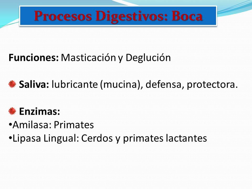 Procesos Digestivos: Boca Funciones: Masticación y Deglución Saliva: lubricante (mucina), defensa, protectora. Enzimas: Amilasa: Primates Lipasa Lingu