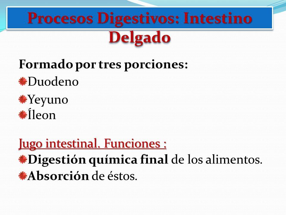 Procesos Digestivos: Intestino Delgado Formado por tres porciones: Duodeno Yeyuno Íleon Jugo intestinal. Funciones : Digestión química final de los al