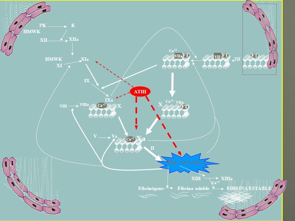 Ca +2 VII Ca +2 VIIa X Xa V Va IIa -TROMBINA XIIIXIIIa Fibrinógeno Fibrina solubleFIBRINA ESTABLE VIIIa VIII IXa Ca +2 IX XIa Ca +2 XIIa XII XI HMWK F