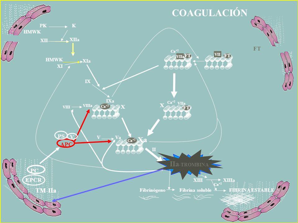 COAGULACIÓN Ca +2 IIa -TROMBINA II V Va VIIIa VIII Ca +2 X VIIa X Xa FT XIIIXIIIa Fibrinógeno Fibrina solubleFIBRINA ESTABLE Ca +2 IIa -TROMBINA IXa I