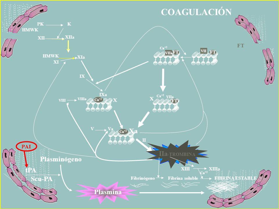 COAGULACIÓN Ca +2 IIa -TROMBINA II V Va VIIIa VIII Ca +2 X VIIa X Xa FT IIa -TROMBINA IXa IX XIa XIIa XI HMWK PK K XII HMWK Ca +2 VIIa FT VII FT XIIIX