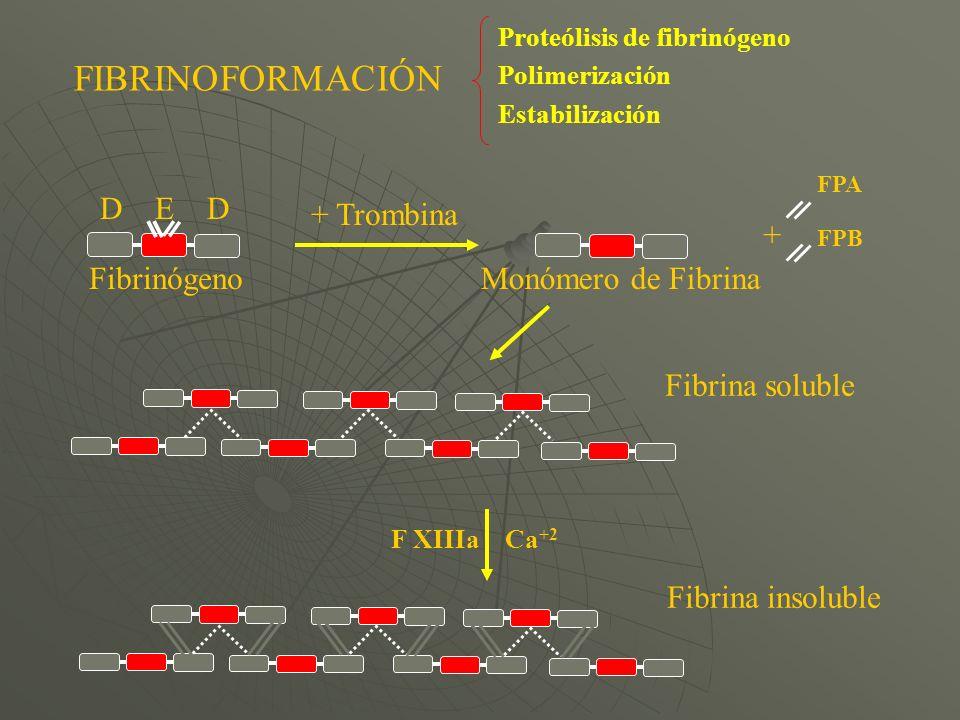 FPA FPB Fibrina insoluble Fibrina soluble D E D F XIIIaCa +2 + Trombina FibrinógenoMonómero de Fibrina + FIBRINOFORMACIÓN Proteólisis de fibrinógeno P