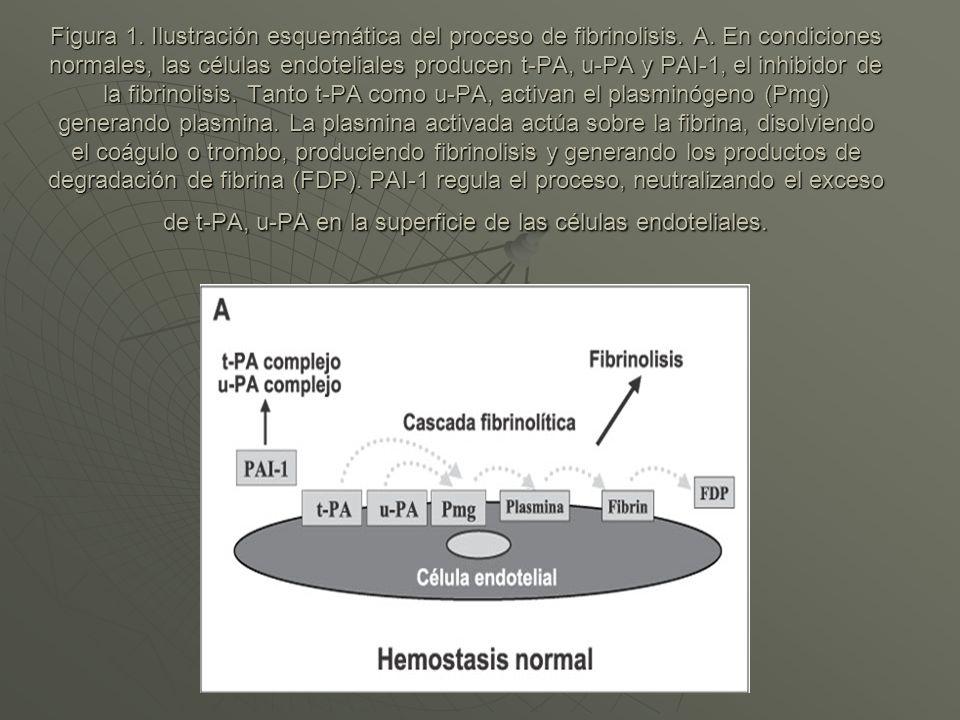 Figura 1. Ilustración esquemática del proceso de fibrinolisis. A. En condiciones normales, las células endoteliales producen t-PA, u-PA y PAI-1, el in