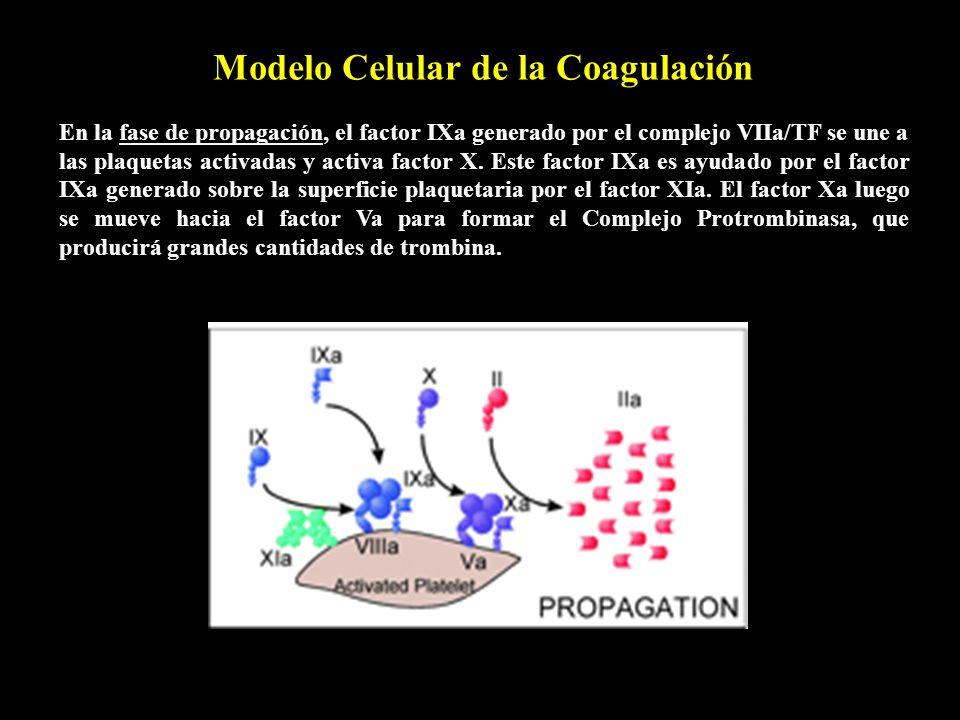 Modelo Celular de la Coagulación En la fase de propagación, el factor IXa generado por el complejo VIIa/TF se une a las plaquetas activadas y activa f