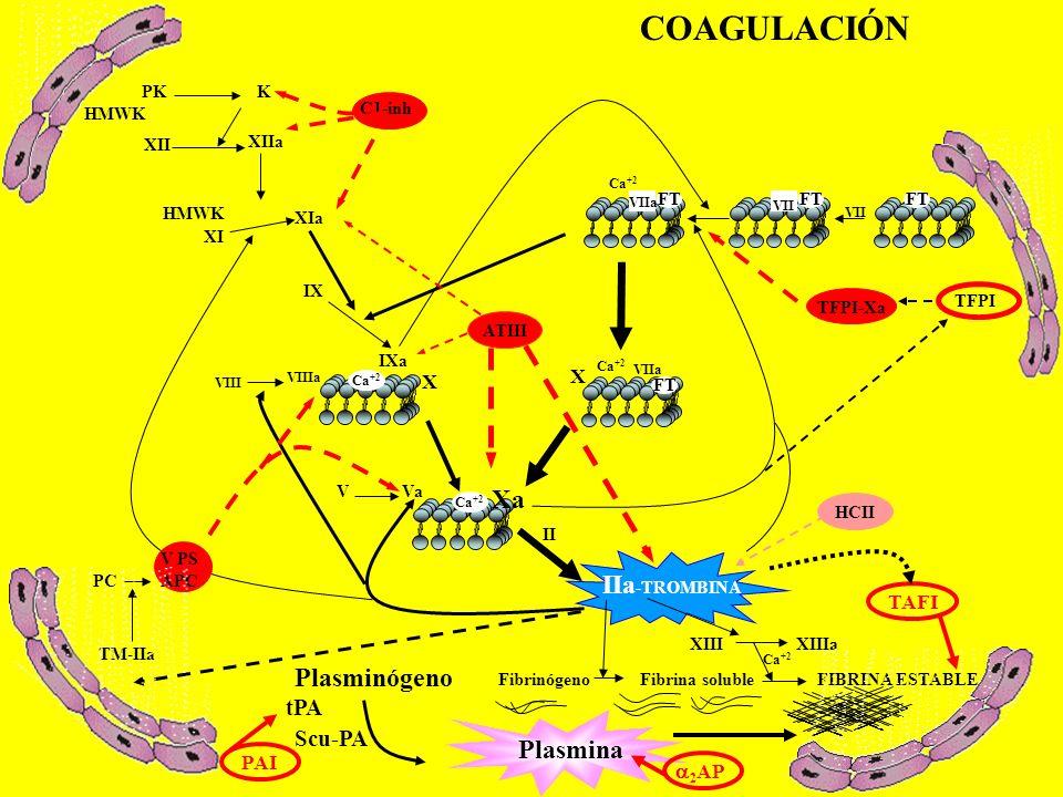Ca +2 VII Ca +2 VIIa X Xa V Va IIa -TROMBINA XIIIXIIIa Fibrinógeno Fibrina solubleFIBRINA ESTABLE VIIIa VIII IXa Ca +2 IX XIa Ca +2 XIIa XII XI HMWK C