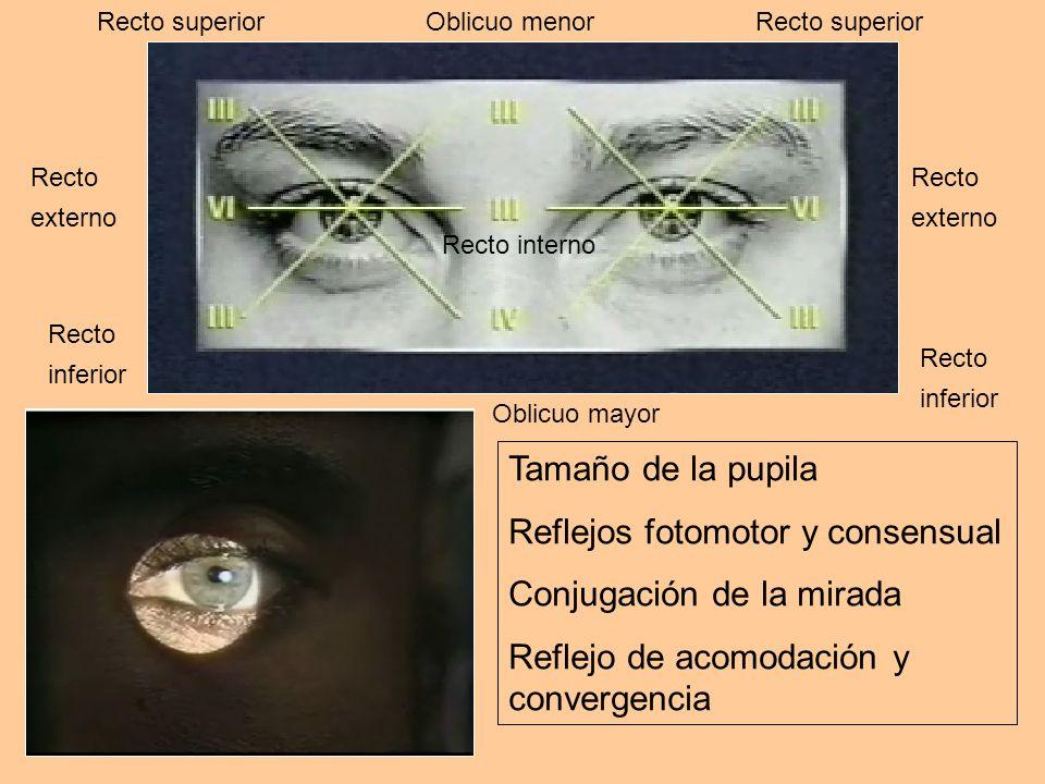 Tamaño de la pupila Reflejos fotomotor y consensual Conjugación de la mirada Reflejo de acomodación y convergencia Recto superior Recto externo Recto