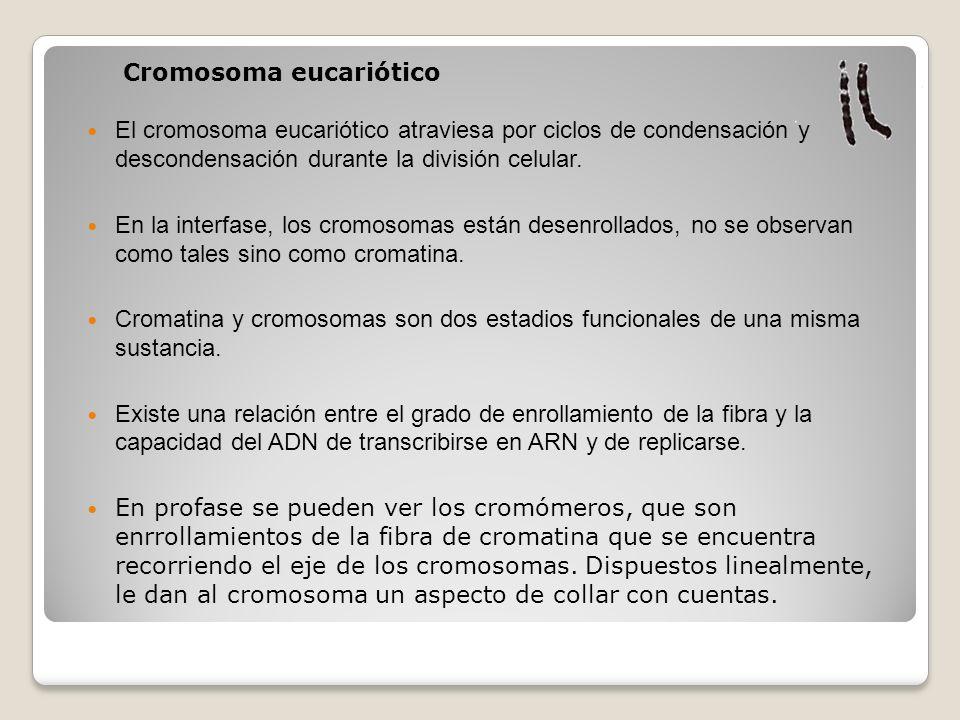 El cromosoma eucariótico atraviesa por ciclos de condensación y descondensación durante la división celular. En la interfase, los cromosomas están des