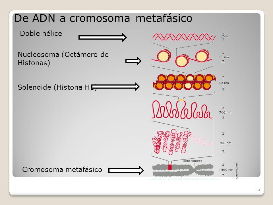 14 Doble hélice Nucleosoma (Octámero de Histonas) Solenoide (Histona H1) De ADN a cromosoma metafásico Cromosoma metafásico