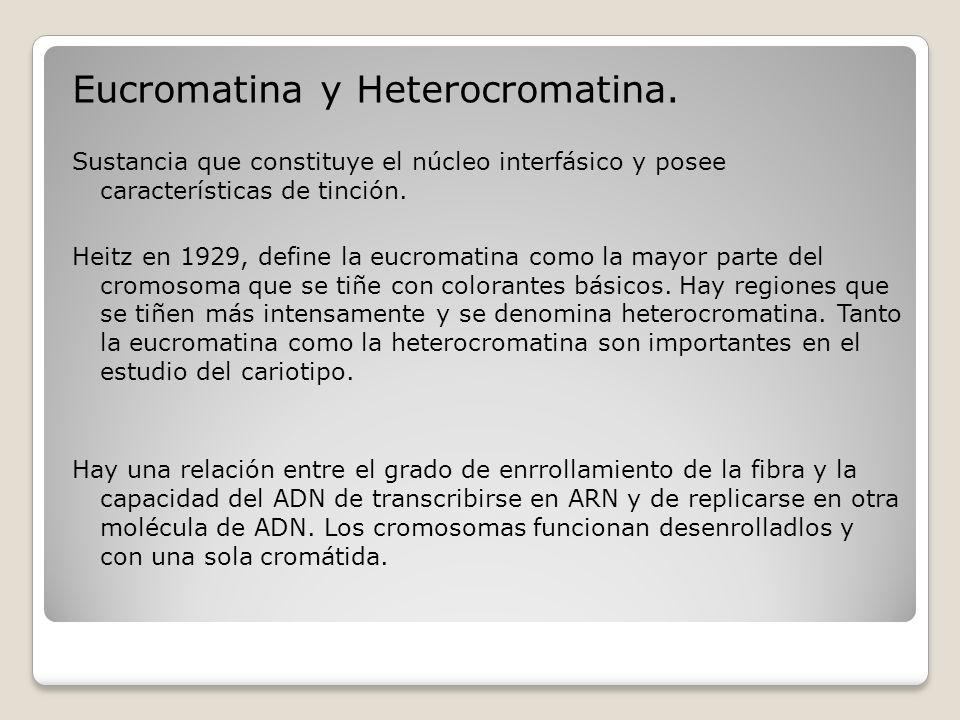 Eucromatina y Heterocromatina. Sustancia que constituye el núcleo interfásico y posee características de tinción. Heitz en 1929, define la eucromatina