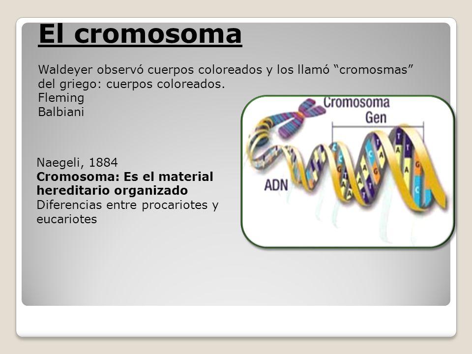 Naegeli, 1884 Cromosoma: Es el material hereditario organizado Diferencias entre procariotes y eucariotes El cromosoma Waldeyer observó cuerpos colore