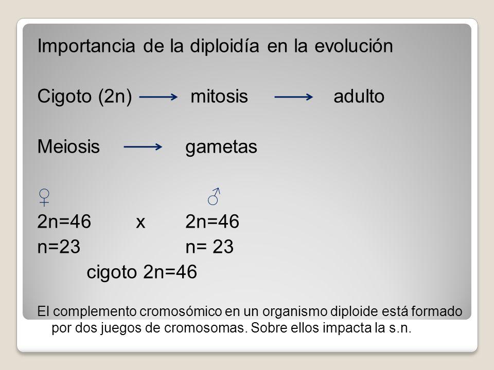 Importancia de la diploidía en la evolución Cigoto (2n) mitosis adulto Meiosis gametas 2n=46 x2n=46 n=23 n= 23 cigoto 2n=46 El complemento cromosómico