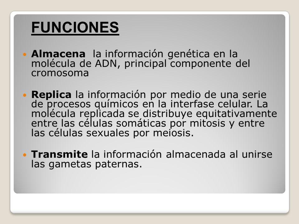 Almacena la información genética en la molécula de ADN, principal componente del cromosoma Replica la información por medio de una serie de procesos q