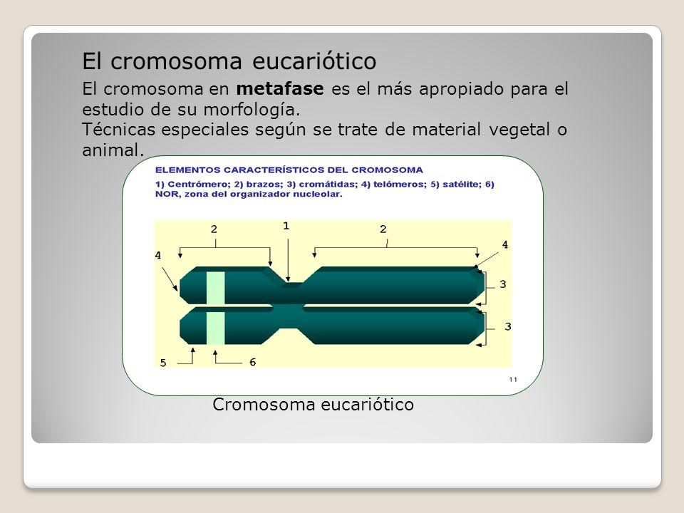 Número Tamaño de los cromosomas Longitud total de los cromosomas Índice centromérico Nivel de ploidía Simetría y Asimetría (relación simetría- asimetría) CARIOTIPO : El estudio del complemento cromosómico en cuanto a número, forma y tamaño de los cromosomas permite realizar el estudio del cariotipo.