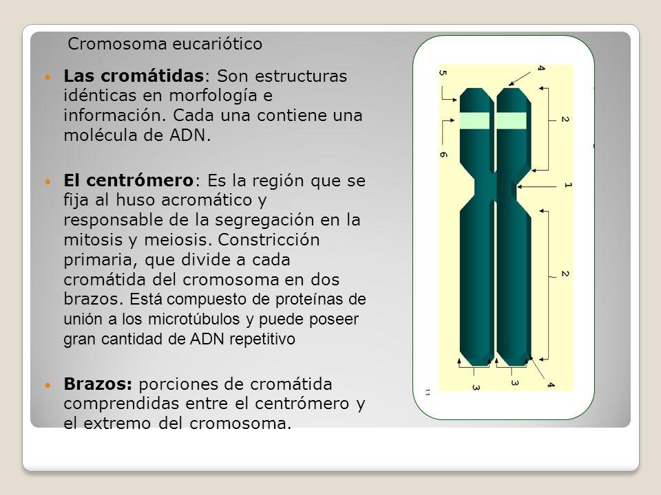 Las cromátidas: Son estructuras idénticas en morfología e información. Cada una contiene una molécula de ADN. El centrómero: Es la región que se fija