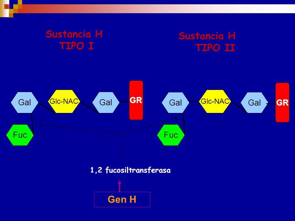 GEN H: SUSTANCIA PRECURSORA Las sustancias H, precursora de los antigenos A y B, se forman por adición de una fucosa (Fuc) a la galactosa terminal (Ga