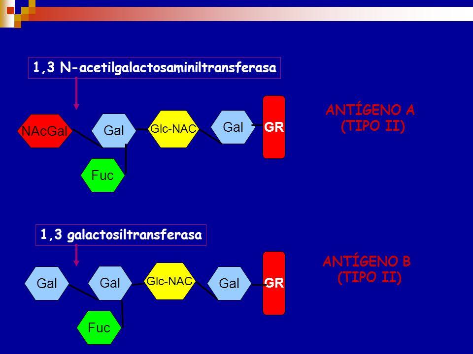 Sustancia H TIPO I Sustancia H TIPO II Glc-NAC Gal Glc-NAC Gal GR Fuc 1,2 fucosiltransferasa Gen H