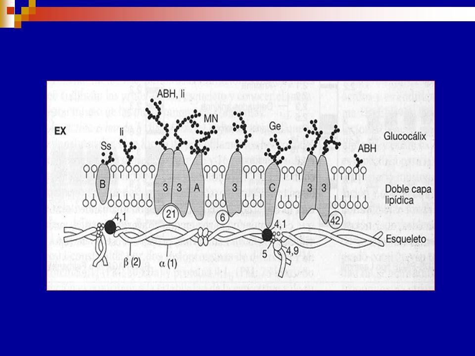 Sustancia precursora TIPO I Sustancia precursora TIPO II Glc-NAC Gal Glc-NAC Gal GR Unión 1,3Unión 1,4 El precursor de TIPO I tiene una galactosa terminal (Gal) unida a una N-acetil-glucosamina subterminal (GlcNac) por una unión 1,3.