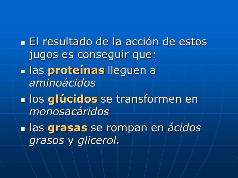 El resultado de la acción de estos jugos es conseguir que: El resultado de la acción de estos jugos es conseguir que: las proteínas lleguen a aminoáci