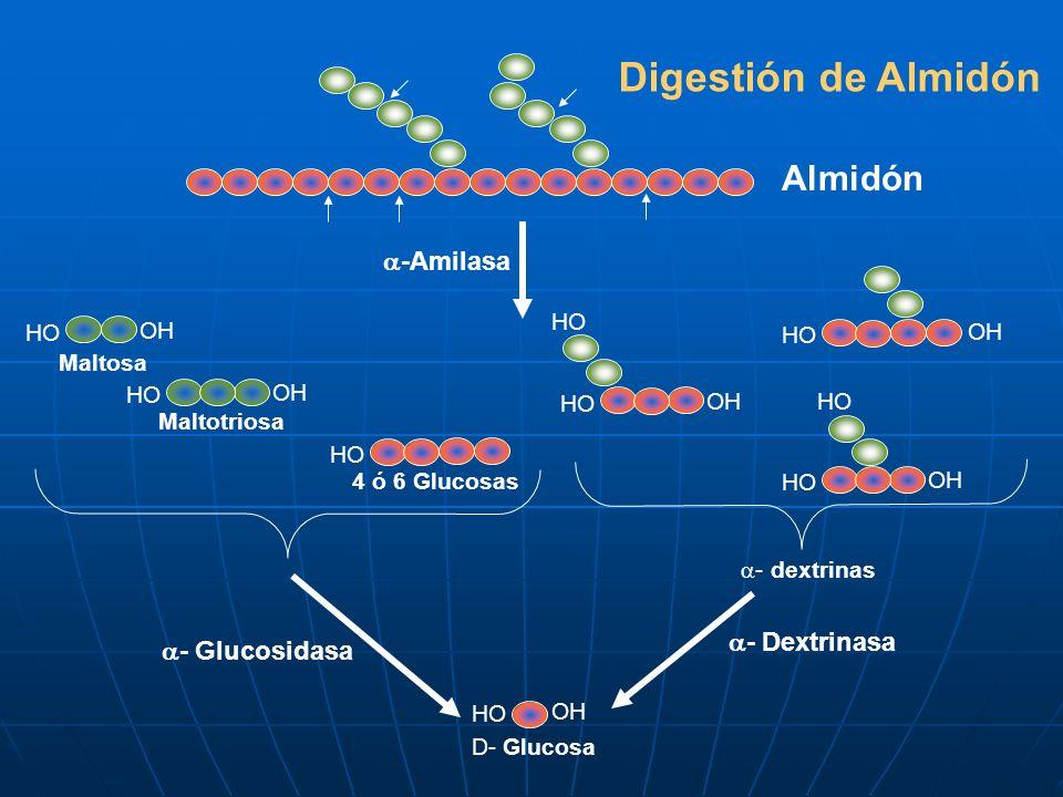 Digestión de Almidón Almidón HO OH HO OH HO OH HO -Amilasa OH HO Maltotriosa HO 4 ó 6 Glucosas - dextrinas - Glucosidasa - Dextrinasa D- Glucosa OH HO