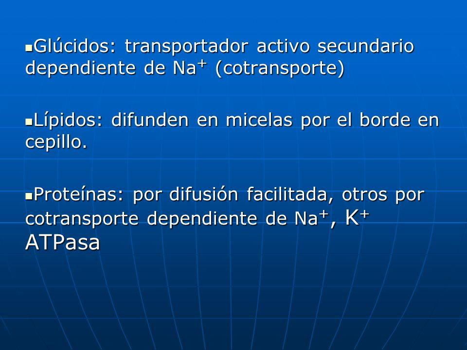 Glúcidos: transportador activo secundario dependiente de Na + (cotransporte) Glúcidos: transportador activo secundario dependiente de Na + (cotranspor
