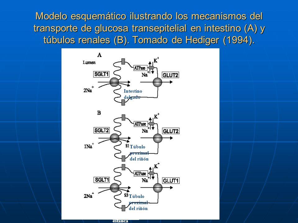 Modelo esquemático ilustrando los mecanismos del transporte de glucosa transepitelial en intestino (A) y túbulos renales (B). Tomado de Hediger (1994)