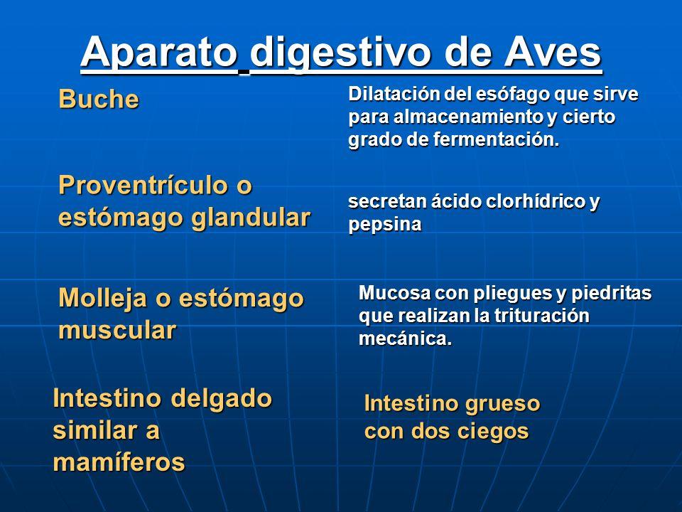 Aparato digestivo de Aves Buche Dilatación del esófago que sirve para almacenamiento y cierto grado de fermentación. Proventrículo o estómago glandula