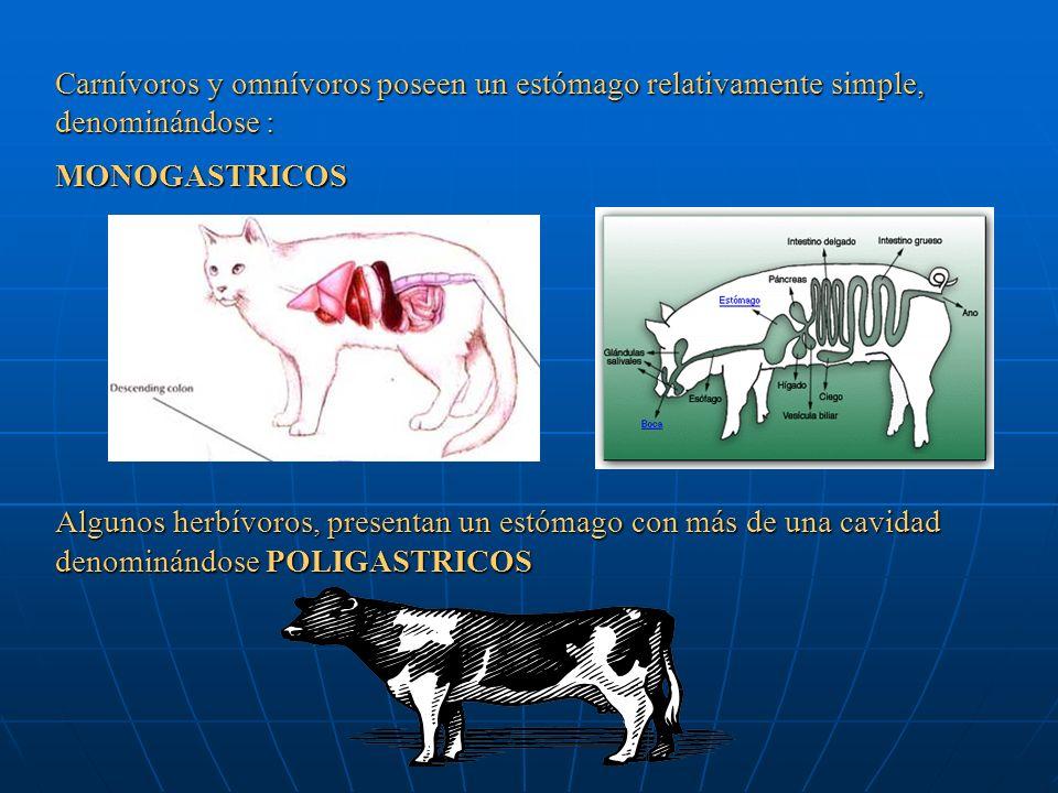 Carnívoros y omnívoros poseen un estómago relativamente simple, denominándose : MONOGASTRICOS Algunos herbívoros, presentan un estómago con más de una