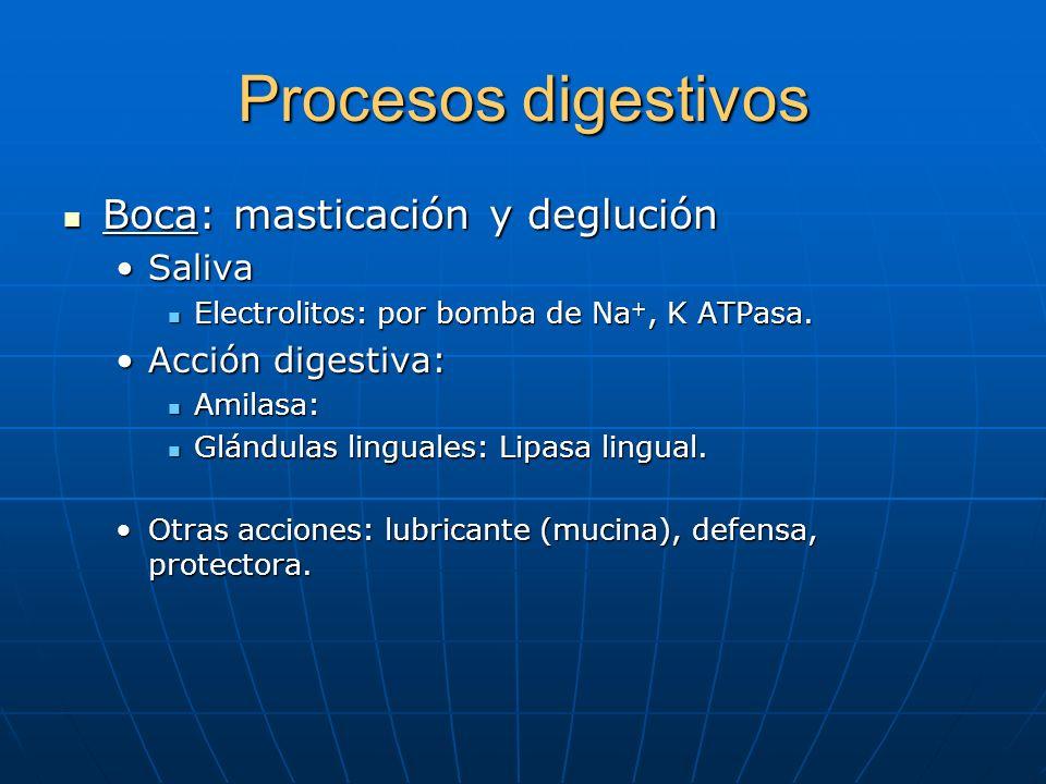 Procesos digestivos Boca: masticación y deglución Boca: masticación y deglución SalivaSaliva Electrolitos: por bomba de Na +, K ATPasa. Electrolitos: