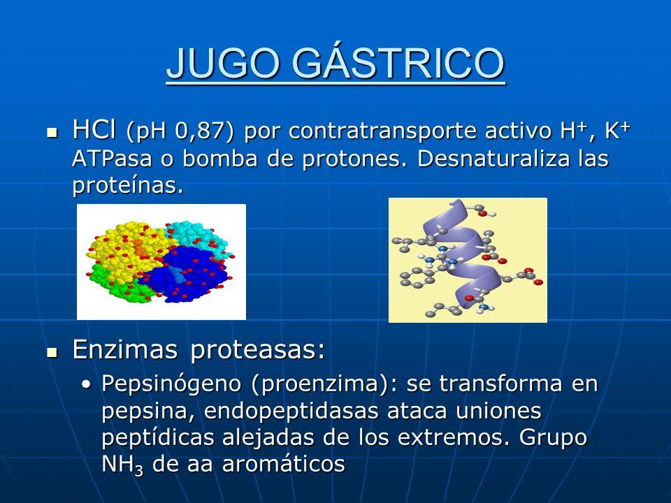 JUGO GÁSTRICO HCl (pH 0,87) por contratransporte activo H +, K + ATPasa o bomba de protones. Desnaturaliza las proteínas. HCl (pH 0,87) por contratran