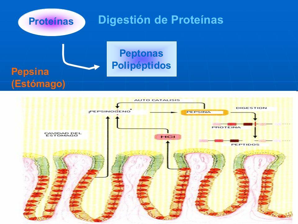 Digestión de Proteínas Peptonas Polipéptidos Proteínas Pepsina (Estómago)