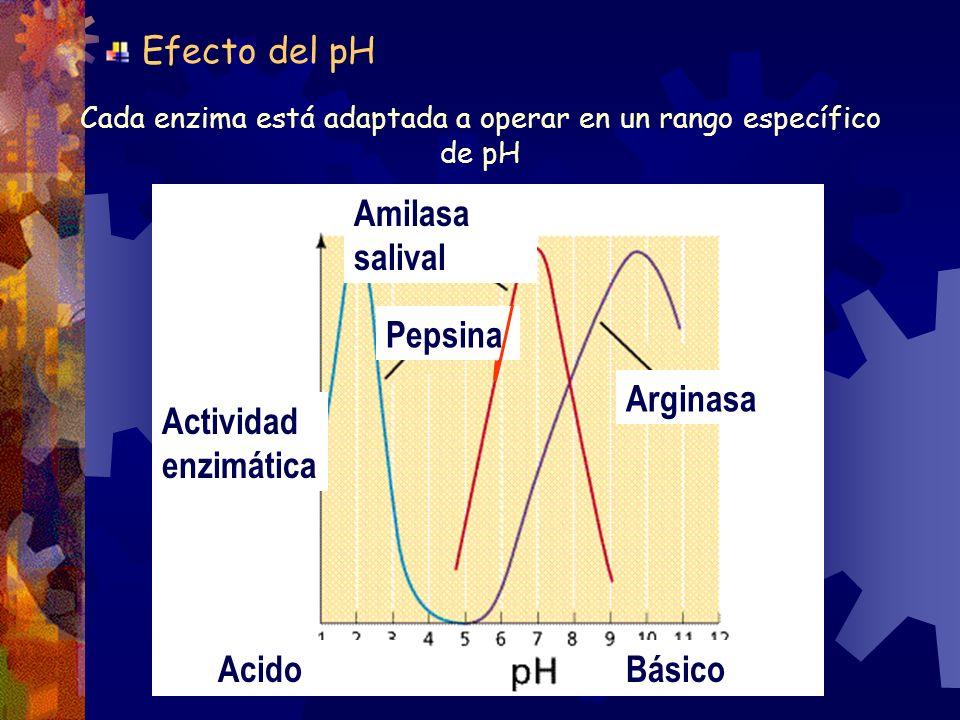 Cada enzima está adaptada a operar en un rango específico de pH Amilasa salival Efecto del pH Arginasa Pepsina Actividad enzimática AcidoBásico
