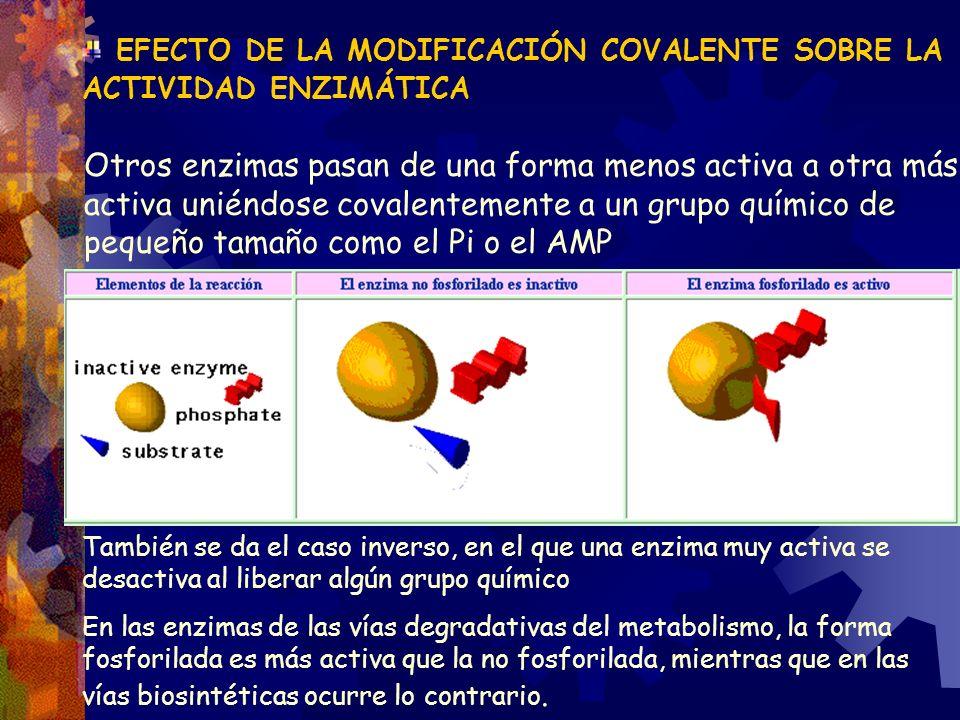 EFECTO DE LA MODIFICACIÓN COVALENTE SOBRE LA ACTIVIDAD ENZIMÁTICA Otros enzimas pasan de una forma menos activa a otra más activa uniéndose covalentem