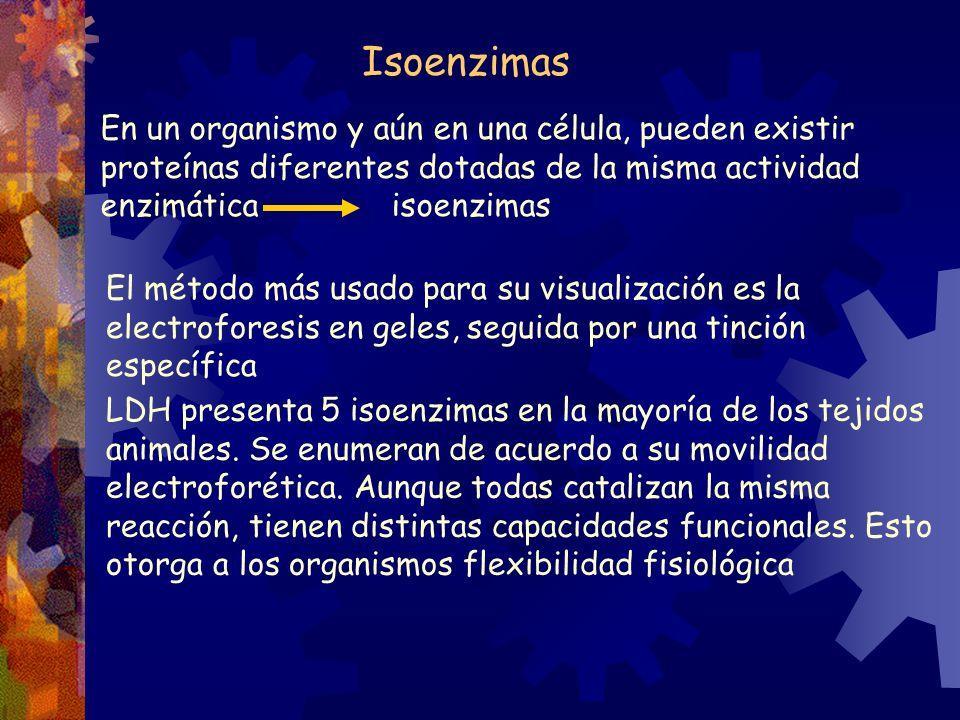 Isoenzimas En un organismo y aún en una célula, pueden existir proteínas diferentes dotadas de la misma actividad enzimática isoenzimas El método más