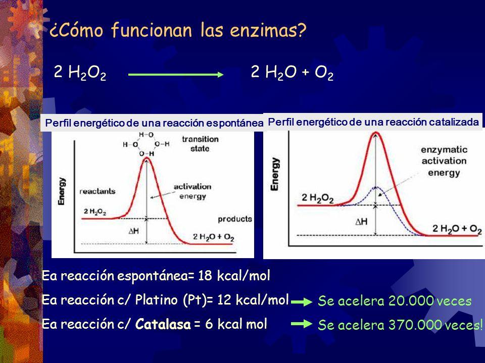 ¿Cómo funcionan las enzimas? Perfil energético de una reacción espontánea Perfil energético de una reacción catalizada 2 H 2 O 2 2 H 2 O + O 2 Ea reac