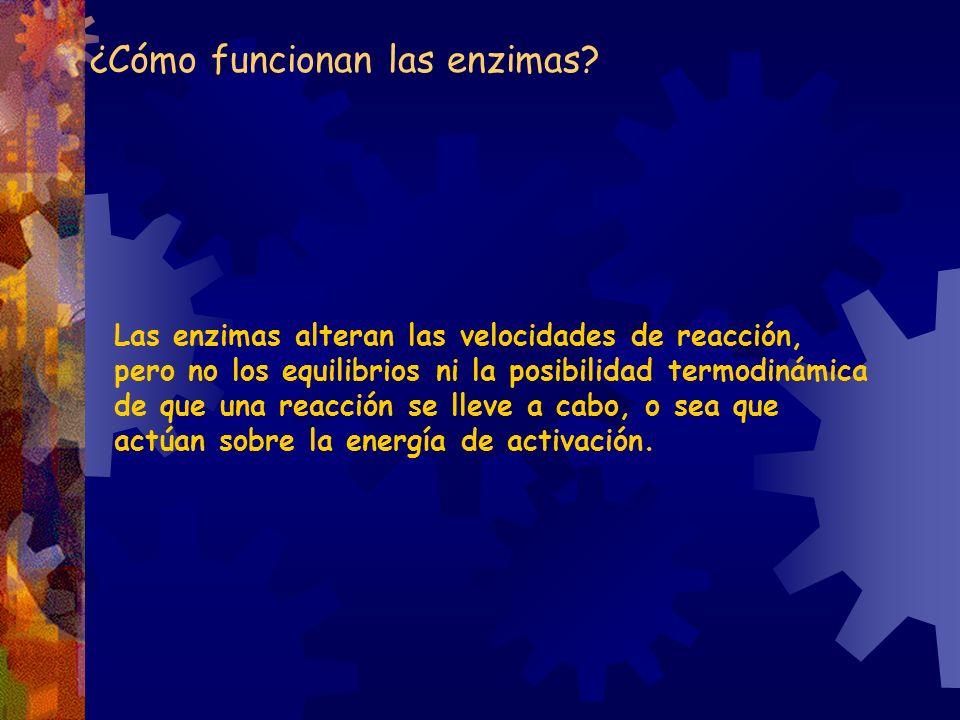 ¿Cómo funcionan las enzimas? Las enzimas alteran las velocidades de reacción, pero no los equilibrios ni la posibilidad termodinámica de que una reacc