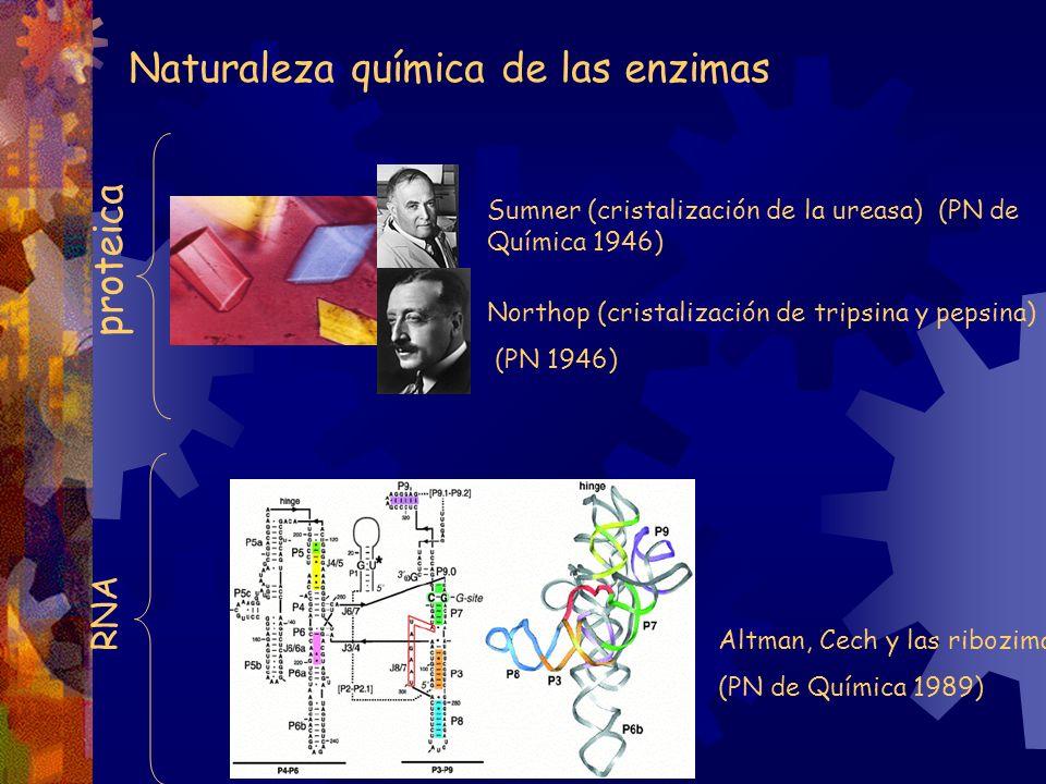 Naturaleza química de las enzimas Sumner (cristalización de la ureasa) (PN de Química 1946) Northop (cristalización de tripsina y pepsina) (PN 1946) p