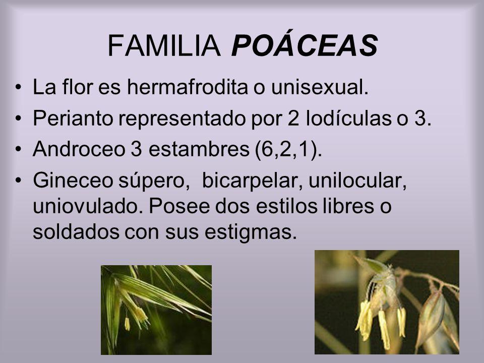 FAMILIA POÁCEAS La flor es hermafrodita o unisexual. Perianto representado por 2 lodículas o 3. Androceo 3 estambres (6,2,1). Gineceo súpero, bicarpel