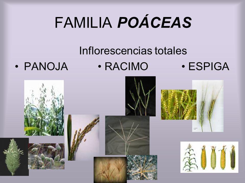 FAMILIA POÁCEAS Inflorescencias totales PANOJA RACIMO ESPIGA