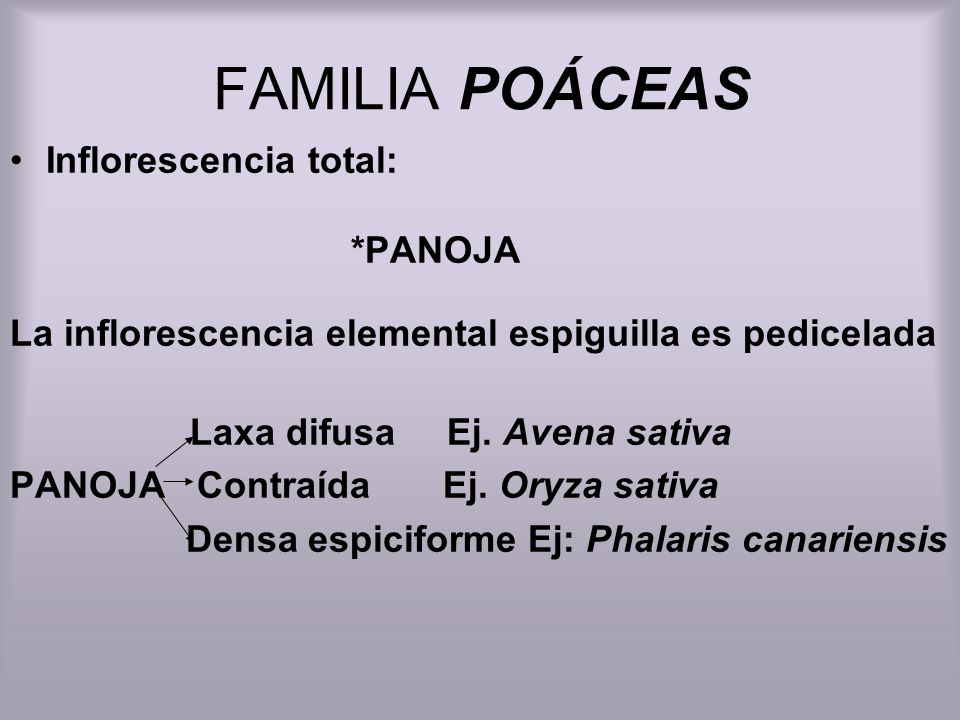 FAMILIA POÁCEAS Inflorescencia total: *PANOJA La inflorescencia elemental espiguilla es pedicelada Laxa difusa Ej. Avena sativa PANOJA Contraída Ej. O
