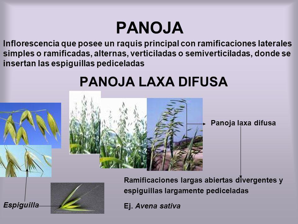 PANOJA Espiguilla PANOJA LAXA DIFUSA Inflorescencia que posee un raquis principal con ramificaciones laterales simples o ramificadas, alternas, vertic
