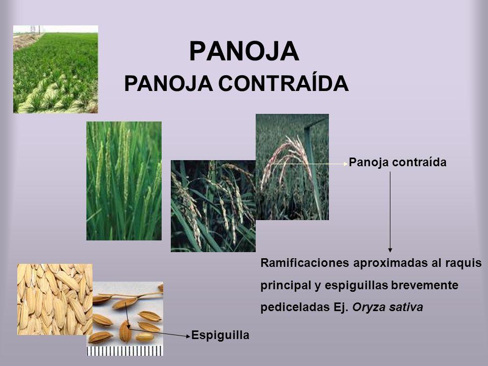 PANOJA PANOJA CONTRAÍDA Panoja contraída Ramificaciones aproximadas al raquis principal y espiguillas brevemente pediceladas Ej. Oryza sativa Espiguil