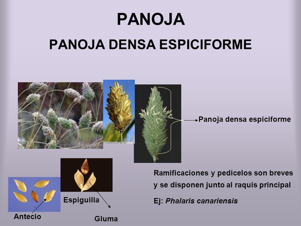 PANOJA PANOJA DENSA ESPICIFORME Panoja densa espiciforme Espiguilla Antecio Ramificaciones y pedicelos son breves y se disponen junto al raquis princi